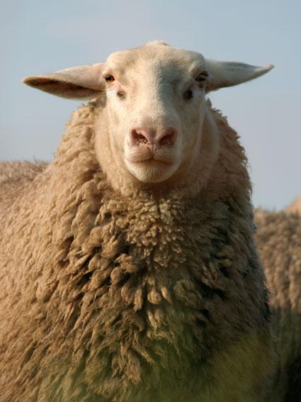 sheep09